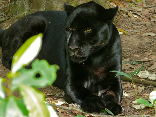Black Jaguar U2013 Diet, Habitat, Facts And Lifespan With Images