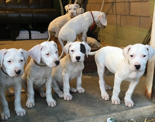 interesting_facts_about_dogo_argentino1