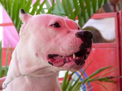 interesting_facts_about_dogo_argentino3