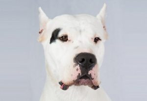 interesting_facts_about_dogo_argentino8