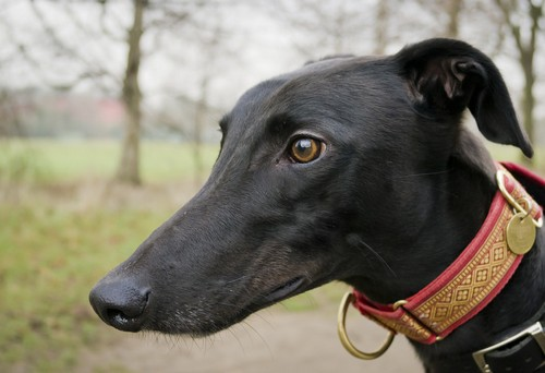 interesting_facts_about_greyhound_dog3