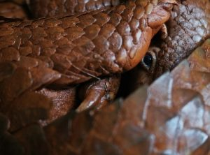 interesting_facts_about_pangolin8