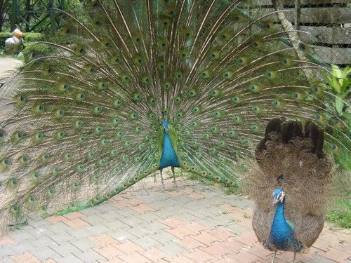 interesting_facts_about_peafowl1