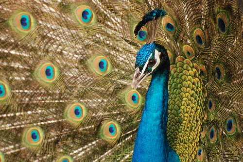 interesting_facts_about_peafowl2