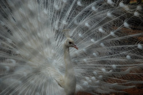 interesting_facts_about_peafowl4