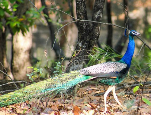interesting_facts_about_peafowl5