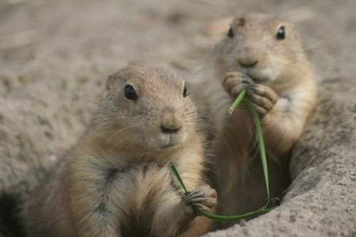 interesting_facts_about_prairie_dogs1