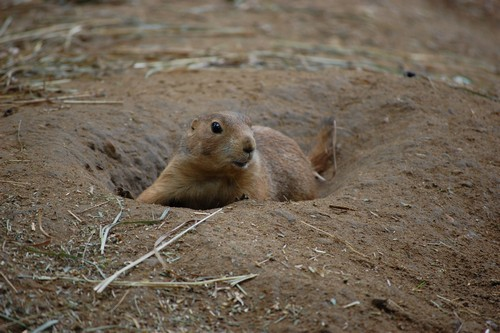 interesting_facts_about_prairie_dogs4