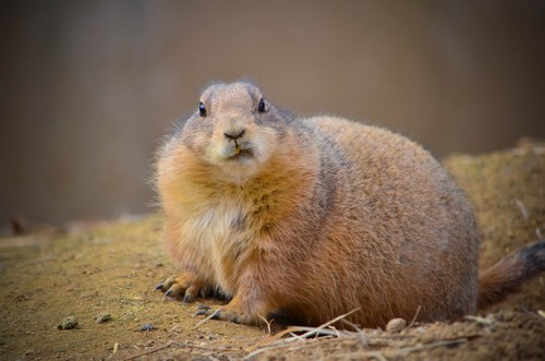 prairie dogs diet habitat facts and lifespan with
