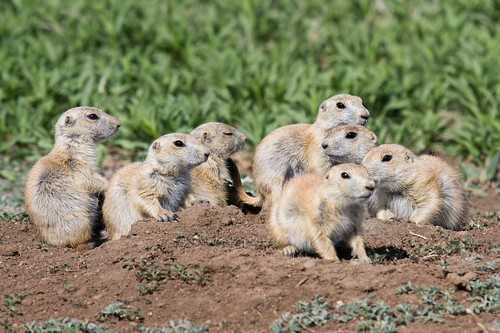 interesting_facts_about_prairie_dogs6
