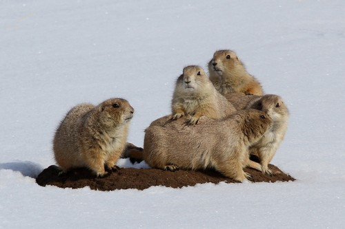 interesting_facts_about_prairie_dogs7