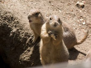 interesting_facts_about_prairie_dogs8