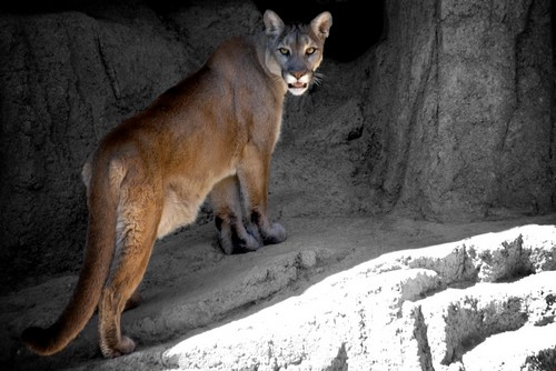interesting_facts_about_puma_cougar1
