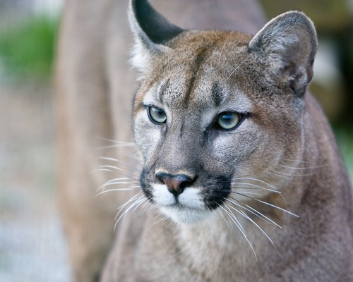 interesting_facts_about_puma_cougar2