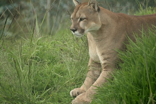interesting_facts_about_puma_cougar3