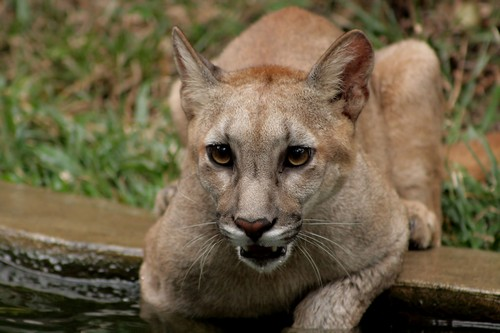 interesting_facts_about_puma_cougar4