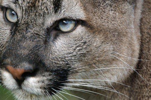 interesting_facts_about_puma_cougar6