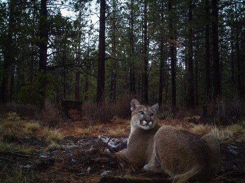interesting_facts_about_puma_cougar7