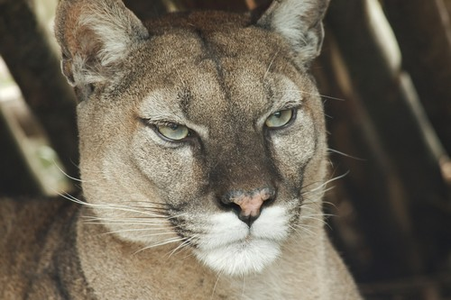 puma cougar habitat diet size and species with images animalspal