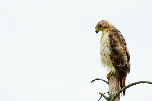 interesting_facts_about_red_tailed_hawk1
