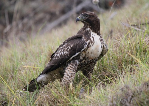 interesting_facts_about_red_tailed_hawk2