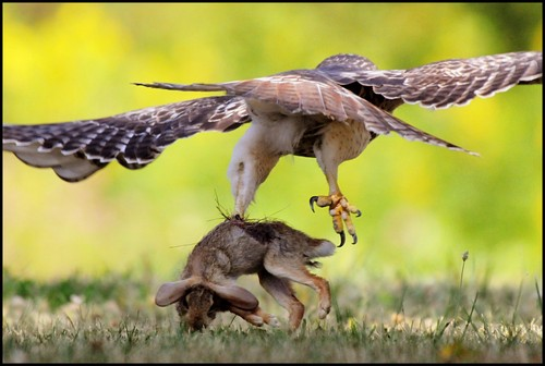 interesting_facts_about_red_tailed_hawk3