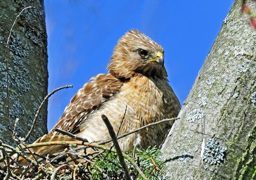 interesting_facts_about_red_tailed_hawk4