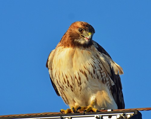 interesting_facts_about_red_tailed_hawk5