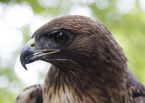 interesting_facts_about_red_tailed_hawk6