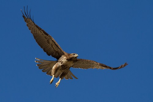 interesting_facts_about_red_tailed_hawk7