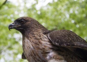 interesting_facts_about_red_tailed_hawk8