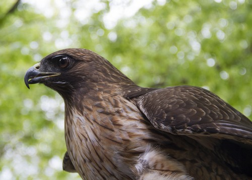 interesting_facts_about_red_tailed_hawk8-ap