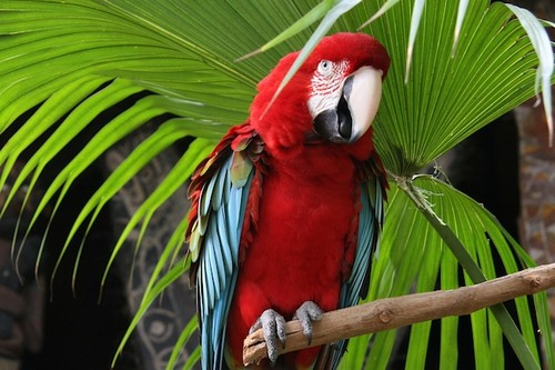 interesting_facts_about_scarlet_macaw2