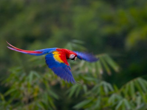 interesting_facts_about_scarlet_macaw3