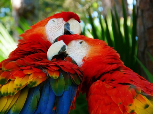 interesting_facts_about_scarlet_macaw5