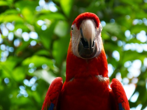 interesting_facts_about_scarlet_macaw7