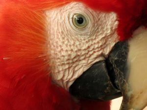 interesting_facts_about_scarlet_macaw8