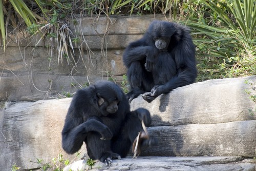 interesting_facts_about_siamang1