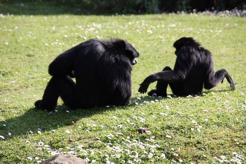 interesting_facts_about_siamang2