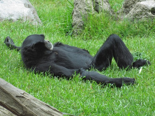 interesting_facts_about_siamang3