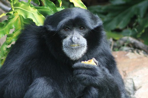 interesting_facts_about_siamang4