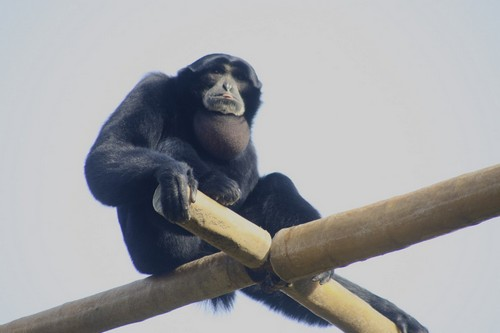 interesting_facts_about_siamang5