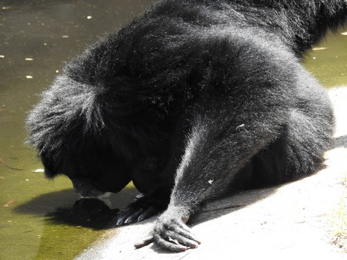 interesting_facts_about_siamang6