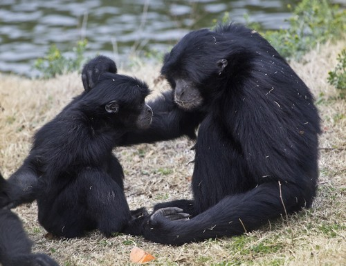 interesting_facts_about_siamang7