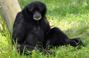 interesting_facts_about_siamang8