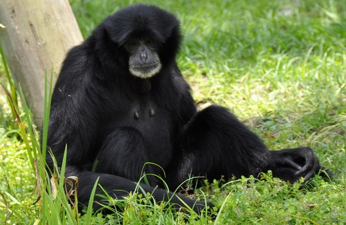 interesting_facts_about_siamang8-ap