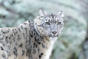 interesting_facts_about_snow_leopard8
