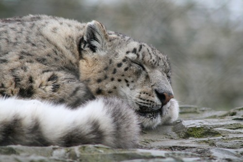 interesting_facts_about_snow_leopards2