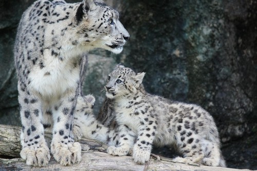 interesting_facts_about_snow_leopards3