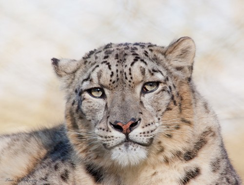 interesting_facts_about_snow_leopards5